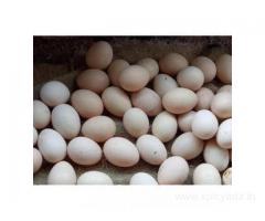 Fresh and Fertile Parrot Eggs for Sale