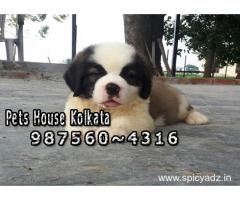 Show Quality SAINT BERNARD  Dogs Sale At ~ DIMAPUR