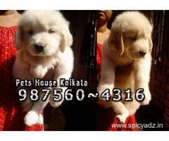 Show Quality GOLDEN RETRIEVER Dogs Sale At ~ ASANSOL