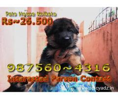 SHOW QUALITY GERMAN SHEPHERD DOGS SALE AT ~ MANIPUR