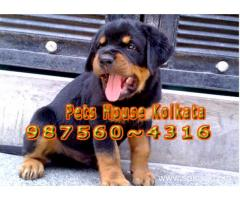 Show Quality ROT WAILER Dogs Sale At ~ DHANBAD
