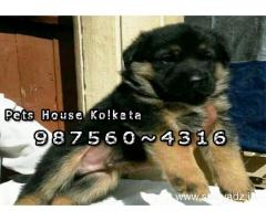 Show Quality GERMAN SHEPHERD Dogs For Sale At ~ AGARTALA