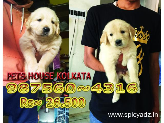 Imported Quality GOLDEN RETRIEVER Dogs Pets Sale At ~DARJEELING - 1