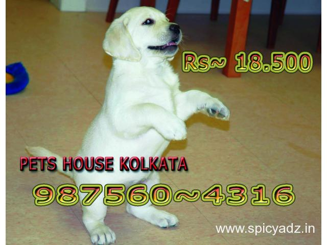 Show Quality LABRADOR Dogs pets Sale At ~ DARJEELING