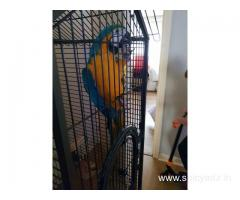 Macaw parrot and eggs for sale