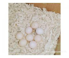 African Grey parrots , Macaw , Amazon , cockatoo and fertile eggs for sale whatsApp +447424514820