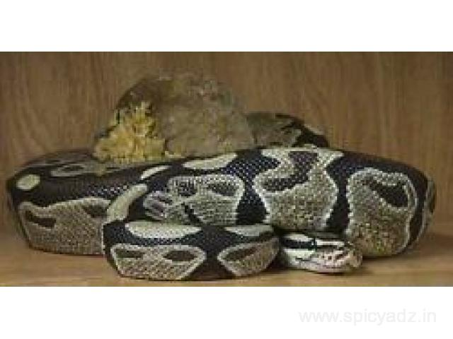 Ball Python Snakes For Sale - 1