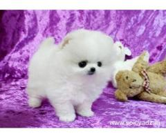 Pomeranian Puppies Available Free