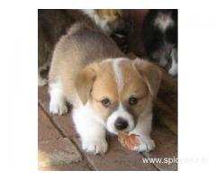 Corgi Welsh Puppies Available