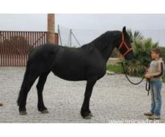 Friesian Gelding Horse for adoption