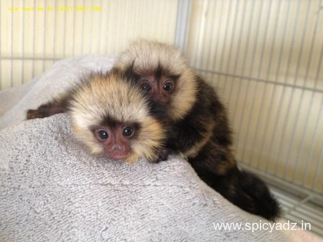 Marmoset Monkeys for Adoption - 1