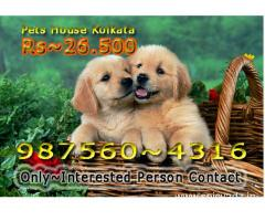 Imported Quality GOLDEN RETRIEVER Dogs Pets Sale At ~ RANCHI