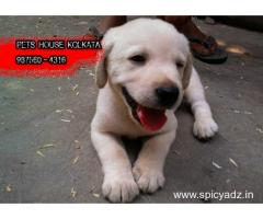 Imported Quality  LABRADOR Dogs  Sale At ~ GUWAHATI