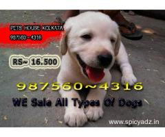 Show Quality Registered  LABRADOR Dogs Sale At ~ PURULIA