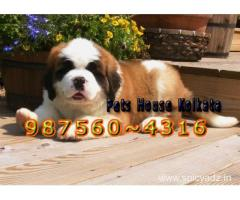 Imported Quality SAINT BERNARD Dogs Sale At ~ GANGTOK