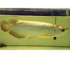 Arowana fishes available on sale .