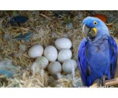 Parrots of various species and their fertile eggs for sale