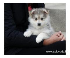 Pomsky puppies available for loving and caring families