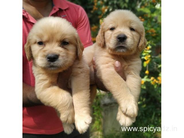 Top Quality Golden Retrievers Puppies available Whatsapp 9632473768 - 1