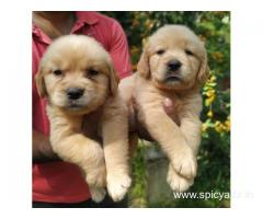 Top Quality Golden Retrievers Puppies available Whatsapp 9632473768