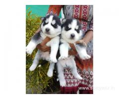 Pure Breed Siberian Husky pupies MALES AND FEMALES Available