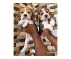 Pure breed Beagles puppies up for adoption