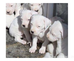 Top Quality Dogo Argentino Available(WhatsApp 9632473768)