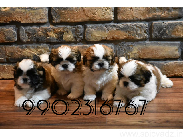 superb quality shihtzu puppies for sale in bangalore - 1