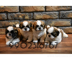 superb quality shihtzu puppies for sale in bangalore