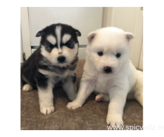 Blue eyes male and female Siberian Husky Puppies available