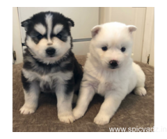 Quality AKC   male and female Siberian Huskies Puppies for free adoption