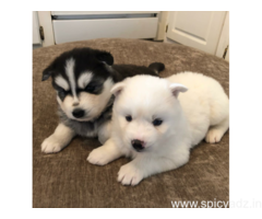 Blue eyes male and female Siberian Huskies Puppies available