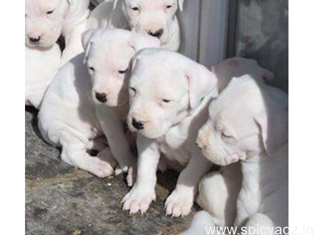 Top Quality Dogo Argentino Available(WhatsApp 9632473768) - 1