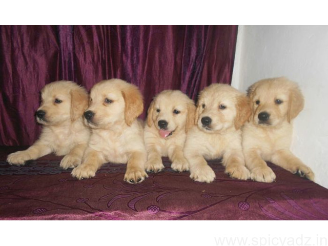 Top Quality Golden Retrievers Puppies available Whatsapp +91 9632473768 - 1