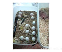 Healthy parrots and 100% fertile parrots eggs for sale