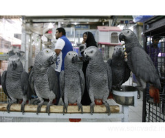 Top Quality African Grey Parrots For Sale