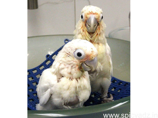 ADULT AND BABY MACAW PARROTS FOR SALE - 1
