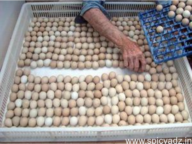 Parrot fertile eggs and incubator - 1