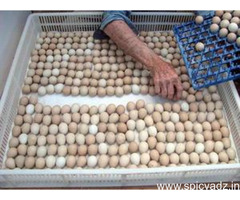 Parrot fertile eggs and incubator