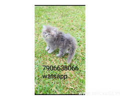 persian kitten for sale in noida