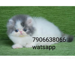 persian kitten for sale in delhi