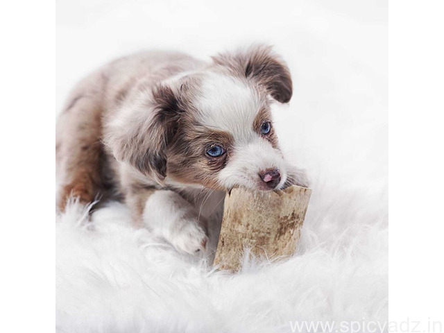 teacup puppies - 1