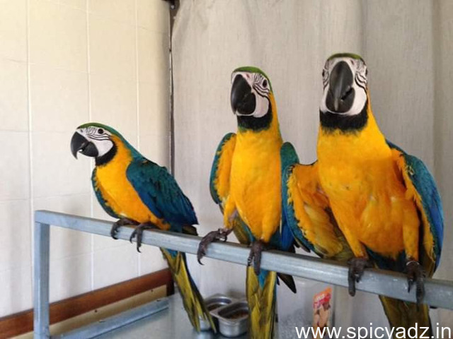blue and gold macaws for sale - 1