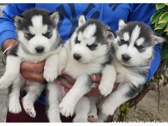 Purebred Siberian Husky Available - 1