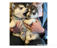 CUTE SIBERIAN HUSKY FOR ADOPTION