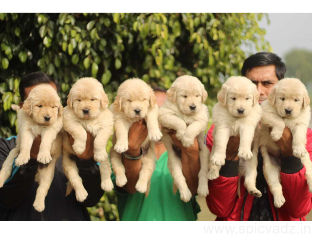 Purebred Golden Retriever Puppies Available - 1