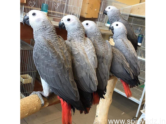 Sweet African Grey Parrot for Sale - 1