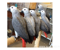 Sweet African Grey Parrot for Sale