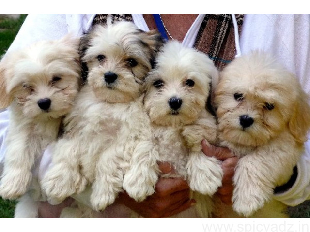 Havenese Puppies for Sale - 1