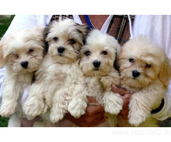 Havenese Puppies for Sale